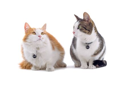 shorthair: two british shorthair cats isolated on a white background
