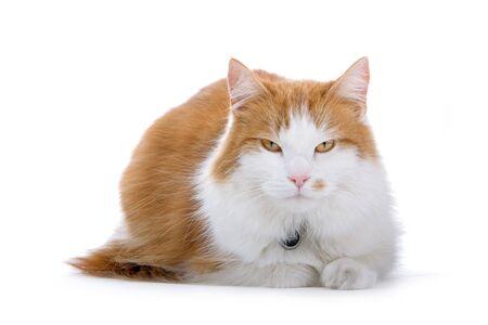 shorthair: cute british shorthair cat cat looking at camera Stock Photo