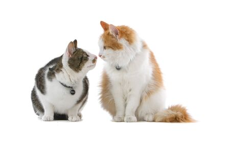 two lovely british shorthair cats isolated on a white background Imagens