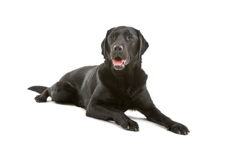 black labrador retriever dog isolated on a white background