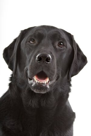black dog: head of a black labrador retriever dog looking at camera