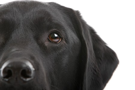 black dog: part of a head of black labrador retriever dog isolated on a white background