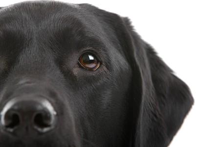 perro labrador: parte de una cabeza de negro labrador de retriever perro aislado en un fondo blanco  Foto de archivo