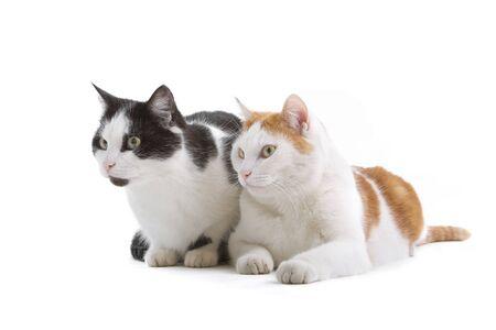 shorthair: looking forward european shorthair cats