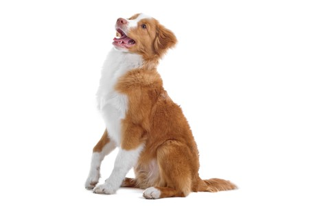 side view of a nova scotia duck-tolling retriever dog sitting Stock Photo - 7232540