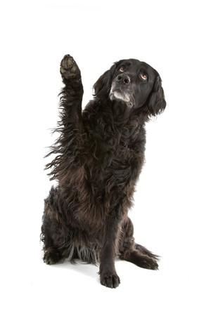mixed breed dog half setter, sittig with the paw raised Stock Photo - 7230665