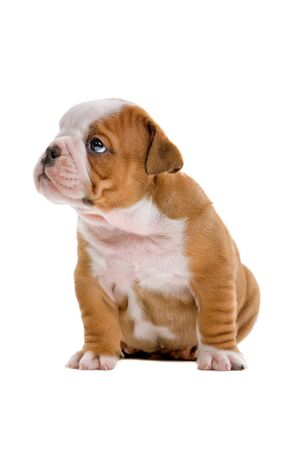 front view of sitting english bulldog puppy isolated on a white background photo