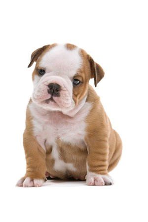 british food: front view of sitting english bulldog puppy isolated on a white background