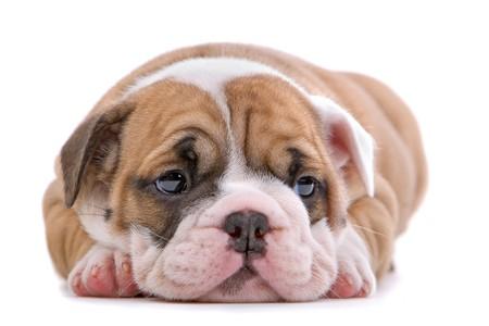 comida inglesa: Cachorro de bulldog ingl�s buscando triste, aislado en un fondo blanco