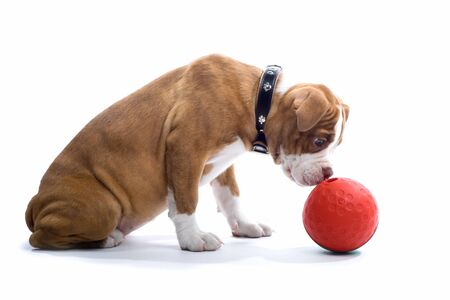 sniffing: renascence bulldog, bulldogge puppy smelling a ball