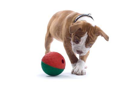 perros jugando: Renacimiento bulldog, cachorro bulldogge jugando con una pelota  Foto de archivo