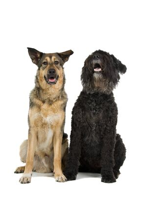 des: bouvier des flandres and mixed breed dog isolated on a white background Stock Photo