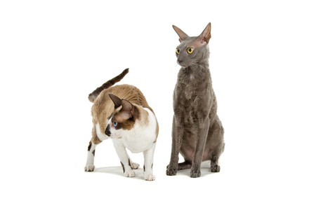 cornish rex: two cornish rex cats isolated on a white background