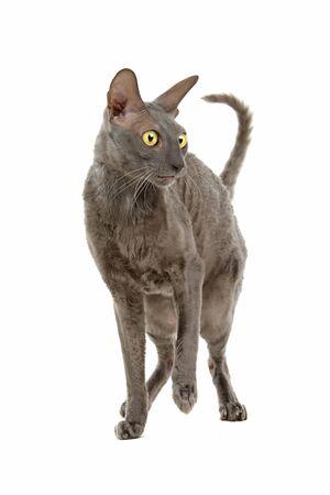 cornish rex: cornish rex cat isolated on a white background Stock Photo