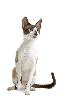 front view of a cornish rex cat sitting and looking forward photo
