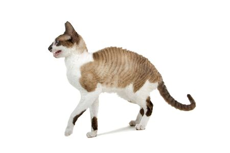 profile of a cornish rex cat isolated on a white background Stock Photo - 7230511