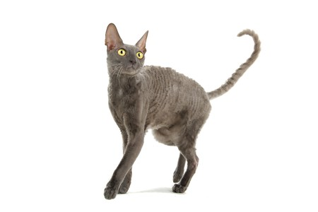 gray cornish rex cat isolated on a white background Stock Photo - 7230532