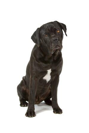 cane corso: vista frontale di un cane corso di canna seduti e rivolto