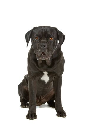 cane corso: front view of a cane corso dog isolated on a white background  Stock Photo