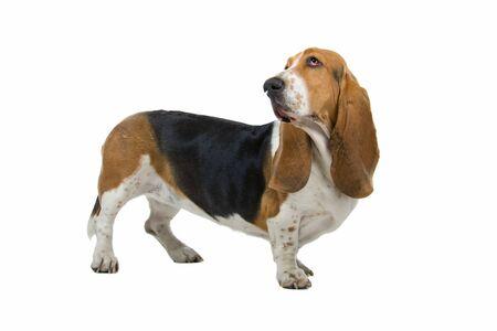 english basset hound isolated on a white background Stock Photo - 7230562