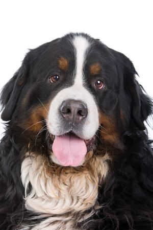 berner: head of bernese mountain isolated on a white background