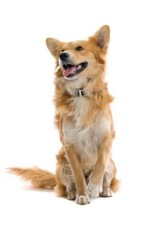 sitting dog: front view of mixed breed dog sittingand panting Stock Photo