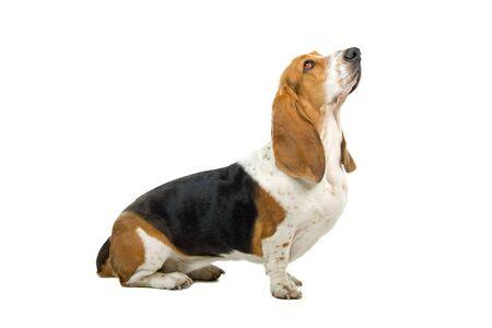 sitting english basset hound. profile Stock Photo - 7218180