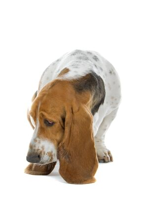 english basset hound isolated on a white background Stock Photo - 7218197