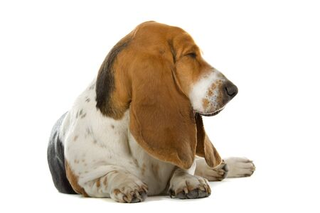 english basset hound isolated on a white background Stock Photo - 7218232