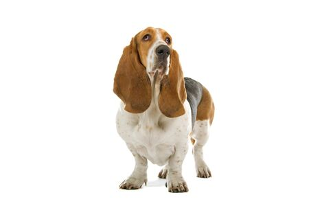 front view of english basset hound dog standing photo