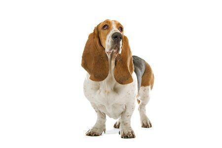 basset: Vista frontal del ingl�s basset hound dog permanente