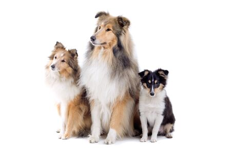 group of three shetland sheepdogs isolated on a white background Stock Photo - 7230669