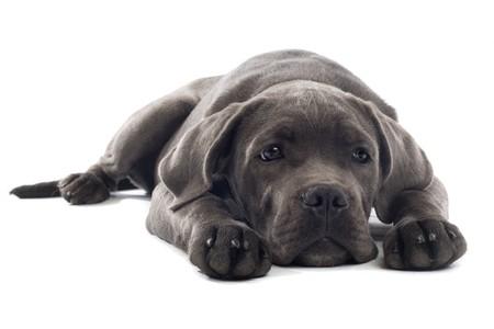 cane corso: sad cane corso puppy lying on the floor