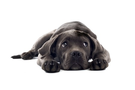 cute cane corso puppy lying on the floor photo