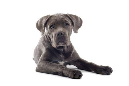 cane corso: cane corso cucciolo sdraiato sul pavimento e rivolto Archivio Fotografico