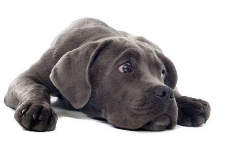 sad cane corso puppy lying on the floor