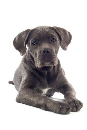 cane corso: vista frontale della canna corso cucciolo isolato su uno sfondo bianco  Archivio Fotografico