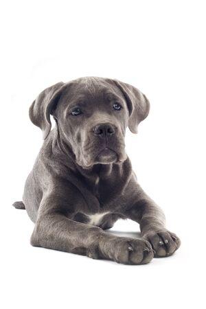 cane corso: cucciolo di cane corso isolato su uno sfondo bianco