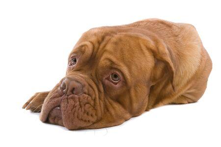 french mastiff dog lying on the floor and looking sad photo