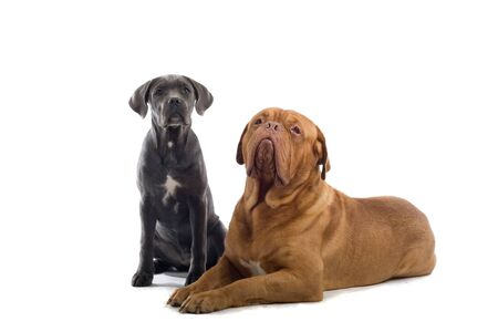 french mastiff: cane corso puppy and french mastiff dog isolated on a white background