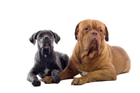 cane corso: corso cucciolo di canna e francese cane Mastino isolato su uno sfondo bianco