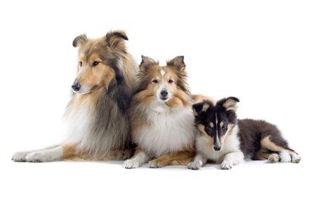 sheltie: group of three shetland sheepdogs isolated on a white background