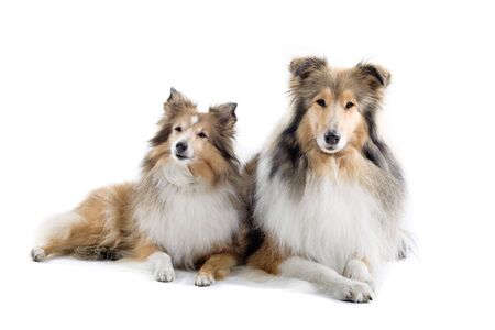 collie: two scottish collie dogs isolated on a white background