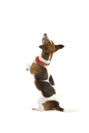 jack terrier: back view of jack russel terrier dog standing on its hind legs