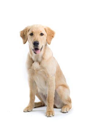 golden retriever puppy sticking out tongue