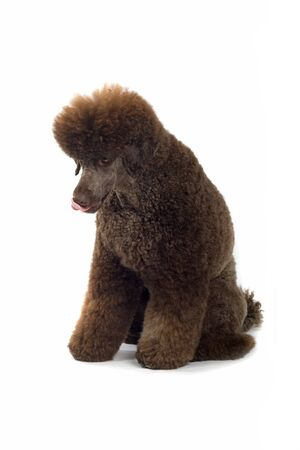 standard poodle: standard poodle dog sitting, isolted on a white background Stock Photo