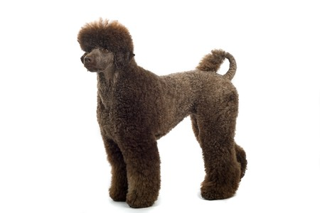 standard poodle: side view of standard poodle dog standing, isolated on a white background Stock Photo