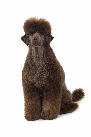 standard poodle: front view of standard poodle dog sitting, isolated on a w hite background