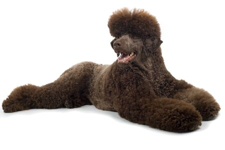 standard poodle: standard poodle dog lying on the floor, isolated on a white background