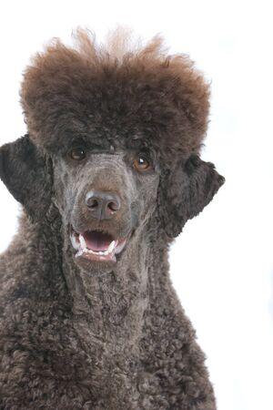 standard poodle: head of king poodle dog - standard poodle Stock Photo